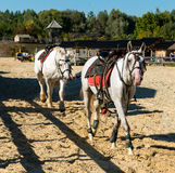 Two white horses before racing. Two white horse is before racing on the stadium royalty free stock images