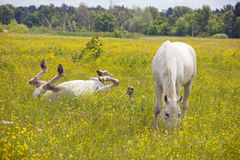 Two white horses rest. Two beautiful white horse grazing on a ranch Royalty Free Stock Photo