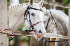 Two white horses standing beside fence royalty free stock photo