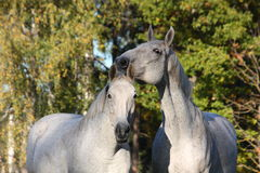 Two white horses together portrait Royalty Free Stock Image