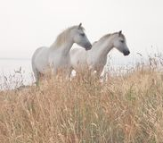 Two white horses Stock Photo