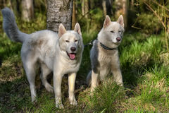 Two, white, husky, in, the, forest, Royalty Free Stock Photo