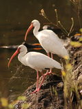 Two White Ibis birds. Watching over the river. These wading birds often dig in the mud along the shore for food Royalty Free Stock Photo