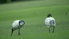 Two White Ibis strolling on a lawn. Scene of two White Ibis strolling on a lawn stock video footage