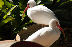 Two white ibises and the green plant Stock Photos