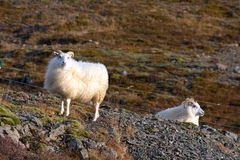 Two white Icelandic sheep Royalty Free Stock Images