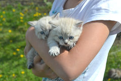 Two white kitten. With blue shlazami in the hands of the girls stock photography