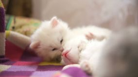 Two white kitten playing bite each other one. Two  white kitten playing bite each other one sleeps stock video