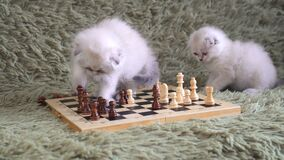 Two white kitten playing chess.  stock footage