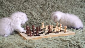 Two white kitten playing chess.  stock video footage