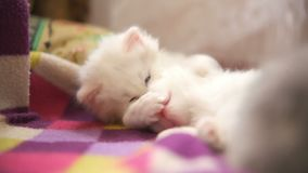 Two white kitten playing sleeps bite each other stock video footage