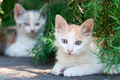Free Two White Kittens Royalty Free Stock Photo - 16047375
