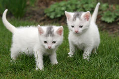 Two white kittens royalty free stock image