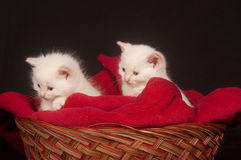 Two white kittens in a basket Royalty Free Stock Photos