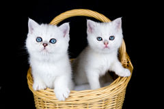 Two white kittens in basket on black background royalty free stock photo