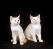 Two white kittens on black background Royalty Free Stock Photos