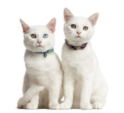 Two White kittens siting. In front of a white background Stock Images