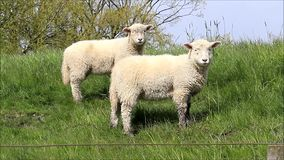 Two white lamb looking. Two Cute white lamb on dike stock footage