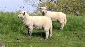 Two white lamb looking stock video footage