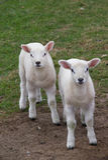 Lambs sheep Royalty Free Stock Photos