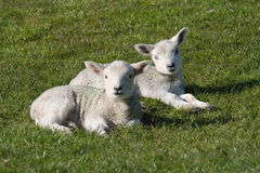 Two white lambs Royalty Free Stock Photography