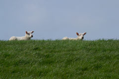 Two white lambs on green dike against blue sky Stock Photography