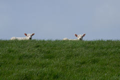 Two white lambs on green dike against blue sky Royalty Free Stock Photography