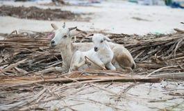 Two white lambs lying on reed. Zanzibar, Africa Stock Photography