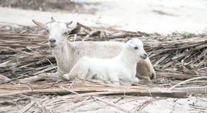 Two white lambs lying on reed. Zanzibar, Africa Royalty Free Stock Photo