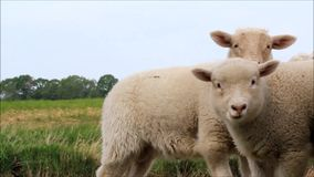 Two white lambs in the nature. Looking stock footage