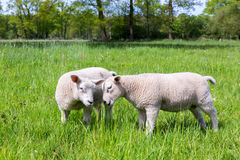 Two white lambs playing together in green meadow Royalty Free Stock Image