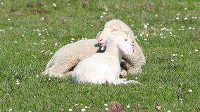 Two white lambs stock video footage