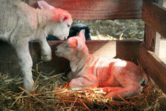 Two white lambs under heat lamp in barn of organic farm in holland. With black lamb in the background royalty free stock images