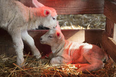 Two white lambs under heat lamp in barn of organic farm in holland. With black lamb in the background stock image