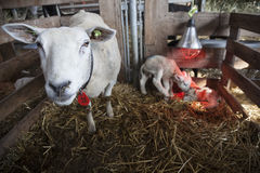 Two white lambs under heat lamp in barn of organic farm in holland with ewe on straw Stock Image