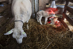 Two white lambs under heat lamp in barn of organic farm in holland with ewe on straw. Two white lambs under heat lamp in barn of organic farm in holland with royalty free stock photos