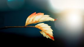 Two White Leafs Stock Images