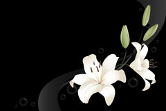 Two white lilies Royalty Free Stock Photos