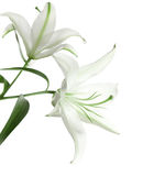 Two white lilies Stock Photo