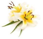 Two white lilies. Stock Photos