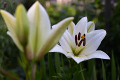 Two white lilies Stock Photography