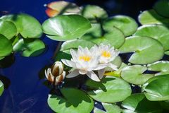 Two white lilies and one flower bud blossom on blue water and green leaves background close up, three beautiful waterlilies stock image