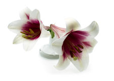 Two white lilies with pink center. Are on a white background Royalty Free Stock Image