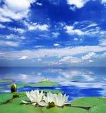 Two white lily Stock Photo