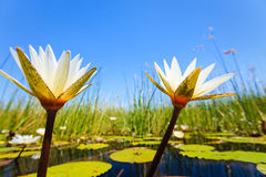 Two white lily blossoms bloom in marsh Stock Photo