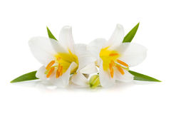 Two white lily Stock Images