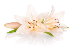 Two white lily flowers Royalty Free Stock Photos