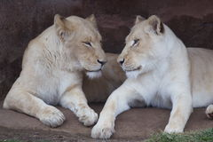 Two white lionesses Royalty Free Stock Images