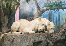 Two white lions wedding to celebrate Valentine's Day Royalty Free Stock Photo