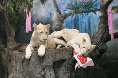 Two white lions wedding to celebrate Valentine's Day Stock Photography
